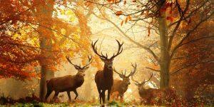Rika jelena – 'pjesma' koja privlači ženke, lovce i gurmane
